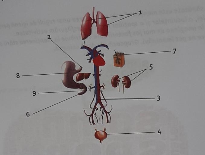 sistemul excretor este format din brainly