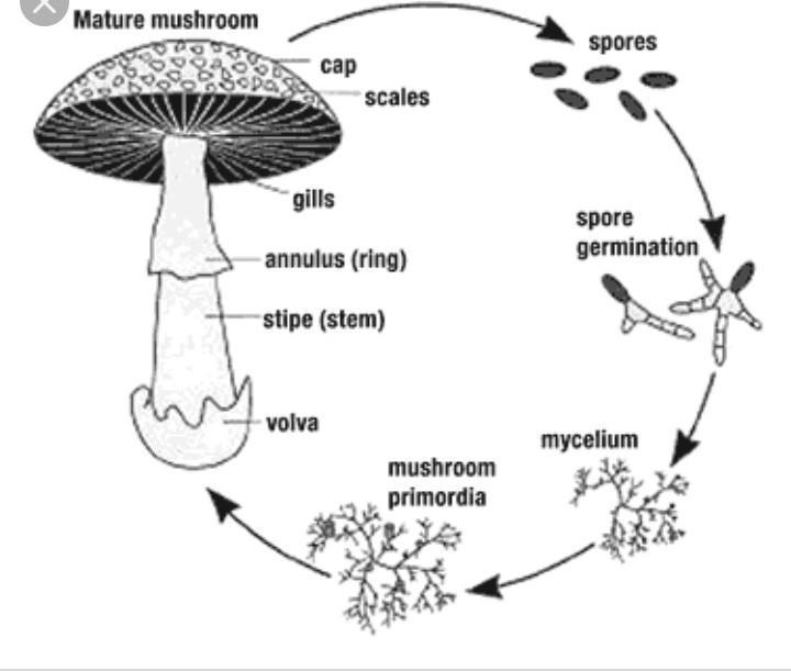 ciclul de viață al biciului)