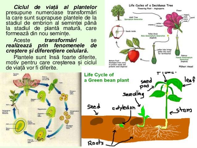Ciclul de viață al unei ajutoare - pestideacvariu.ro