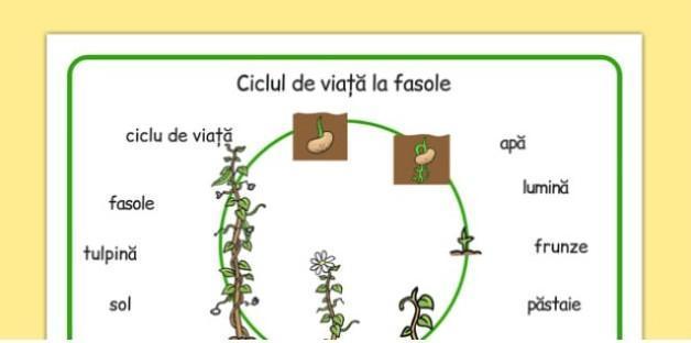 ciclul de viață al unei ajutoare