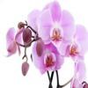 Orhideea6532